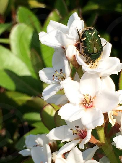 シャリンバイとハナムグリ(Rhaphiolepis umbellata and Flower chafer) photo