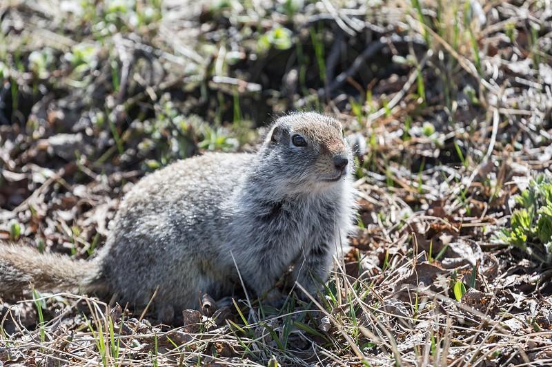 Ground squirrel. Russian Far East Kamchatka Peninsula. photo