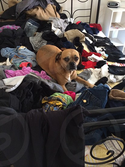 short-coated brown dog laying on clothes on top of bed photo
