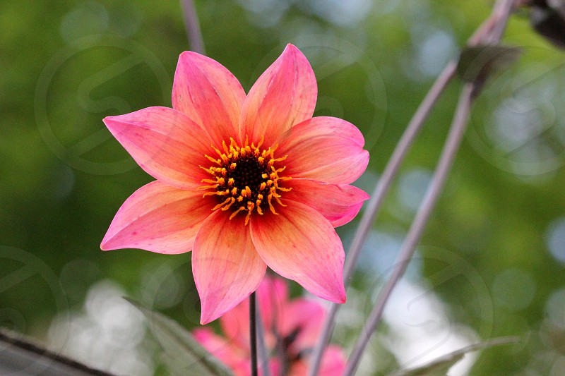 Pink orange flower plant Summer spring seasonal pedals green grow growing bright stem photo