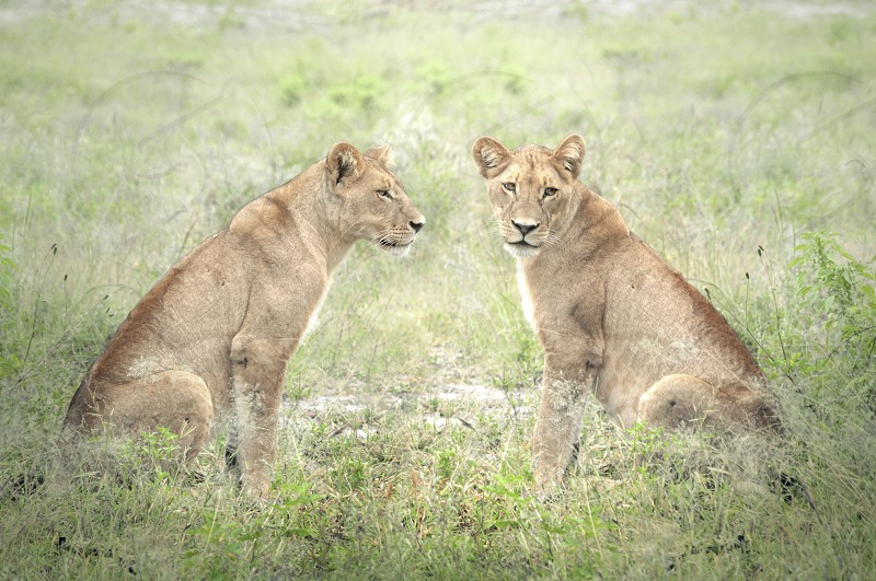 2 lioness sitting on green grass during daytime photo