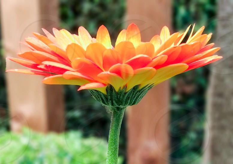 A large single vibrant orange flower in the garden photo