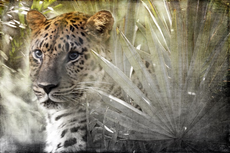 Leopard watches from tropical foliage composite photo
