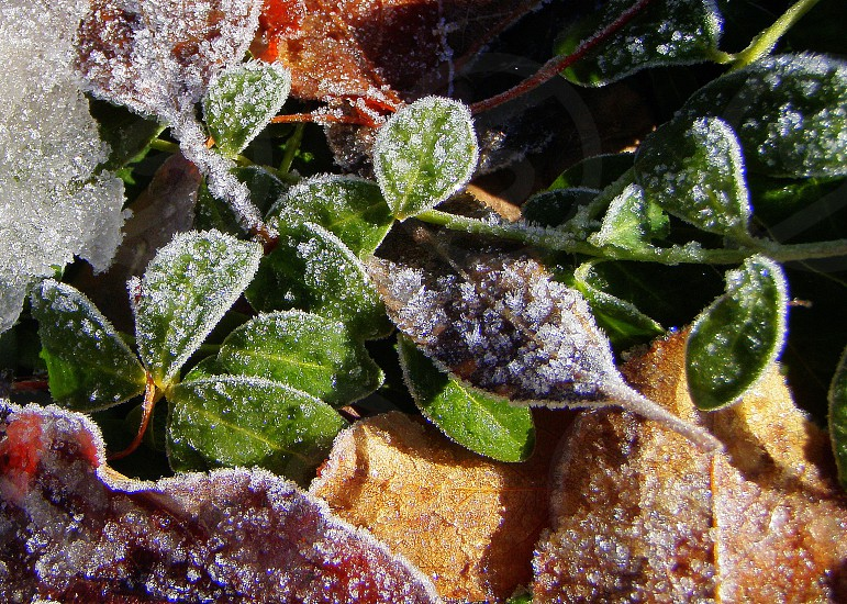 Frost on leaves; Aspen Colorado; October 2010 photo