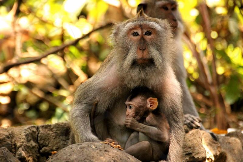 Mother and baby Monkey Monkey Forest Ubud Bali photo