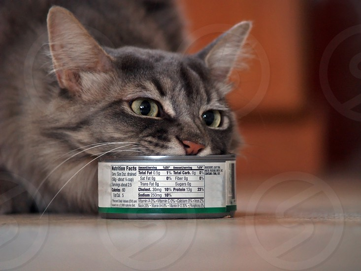 A gray house cat enjoying a can of real tuna. photo