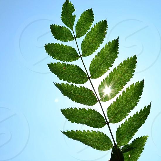 green eucalyptus leaf photo