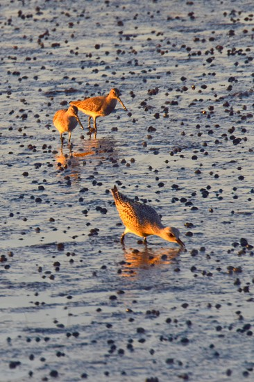 coastal bird family feeding in textured marsh photo