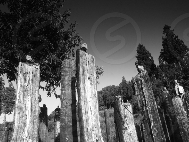 Black and white photo of wood poles in the gound photo
