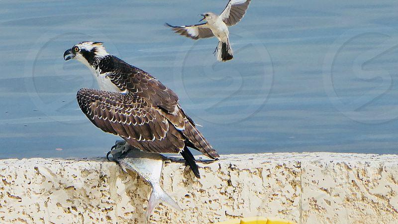 Osprey with Pompano mocking bird Nature wildlife key Largo birds photo