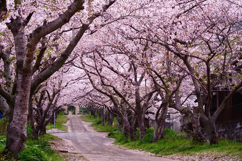 white concrete street surrounded by a sakura tree during daytime photo