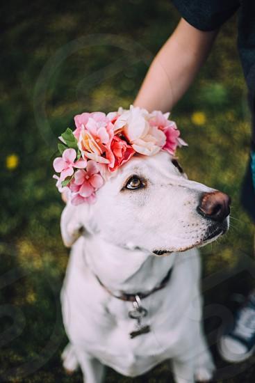 White dog Labrador wearing a flower crown  photo