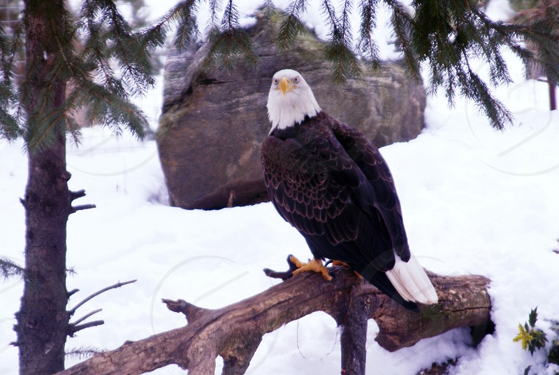 bald eagle sitting on stick in the snow photo