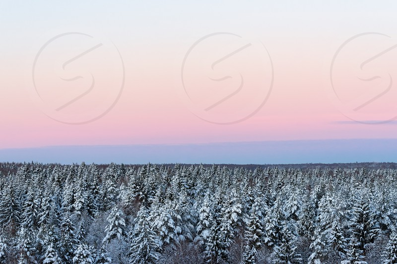 Spruce coniferous forest covered with snow in winter morning. Aerial view photo