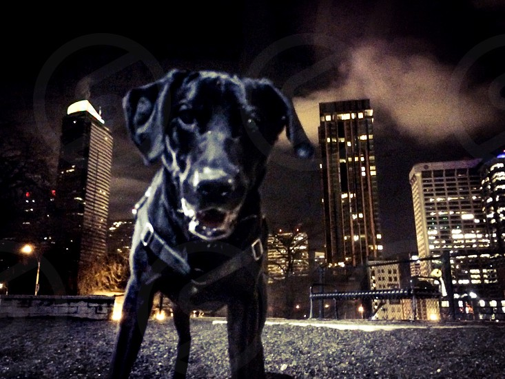 Black lab point of view photo