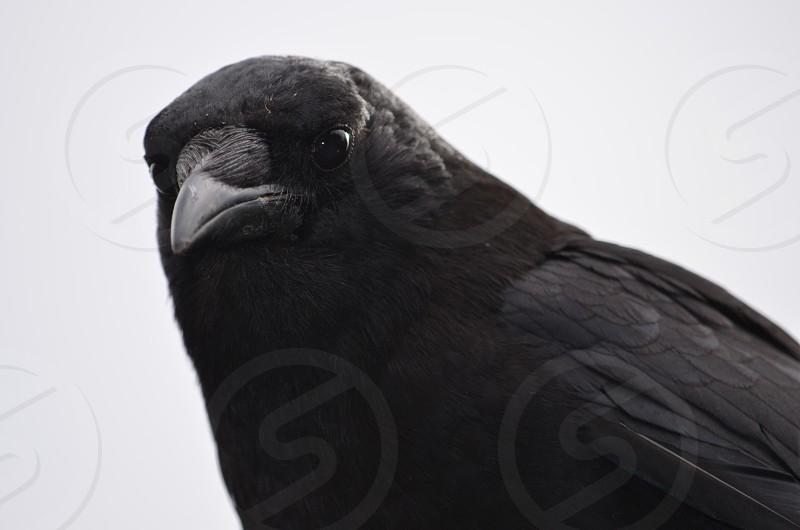 Crow Portland Oregon photo