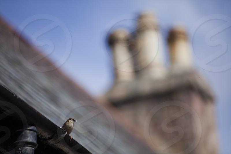 Sparrow focus chimney scotland photo