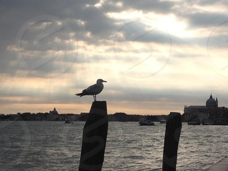 Seagull in venice  photo