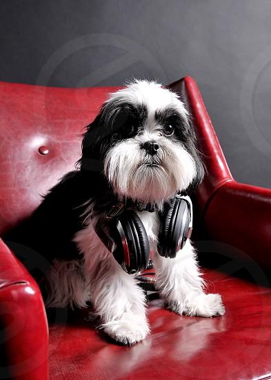 Shih Tzu ShihTzu dog pet mascot headphones music photo