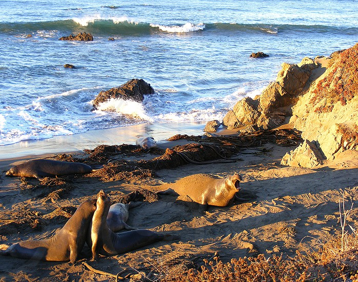 Elephant seals at Piedras Blancas San Simeon CA photo