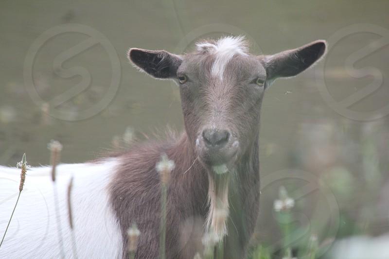goat summer  photo