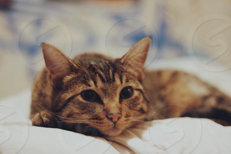 brown tabby cat lying photo