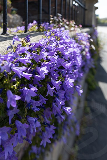Bellflower plant flowering in the sunshine on a wall in Bristol photo