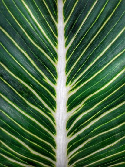 Veins Of Leaf Close Up Green White Tropical Leaves Natural By Melchior Da Costa Photo Stock Snapwire Find the perfect tropical leaves stock photo. photo by melchior da costa veins of leaf close up green white tropical leaves natural