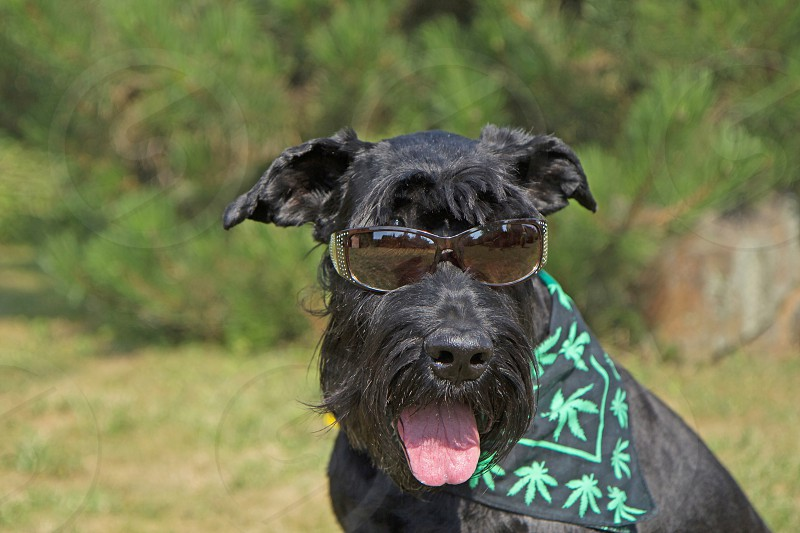 Big Black Schnauzer Dog has glasses  on its eyes and scarf textured with cannabis leaves has around its neck.  photo