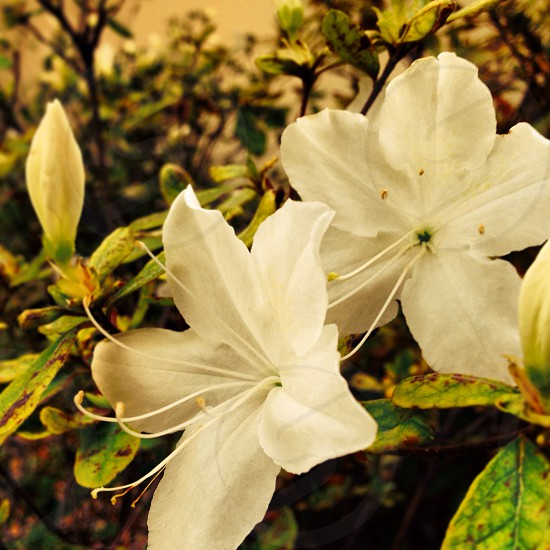 Azaleas in the front yard. photo
