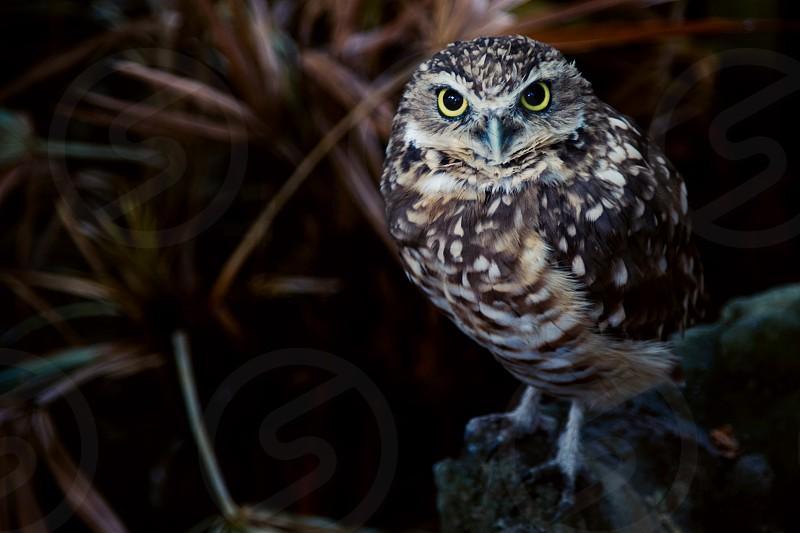 small burrowing owl photo