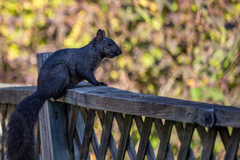 An eastern gray squirrel with the occasional melanistic coloring present in that species shows its black fur as it sits perched on a fence in the suburbs. photo