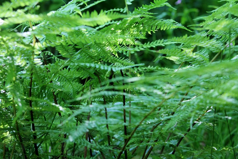 Wild ferns countrysidefernwoodsruralnaturenaturalwildlifeEcoforest photo