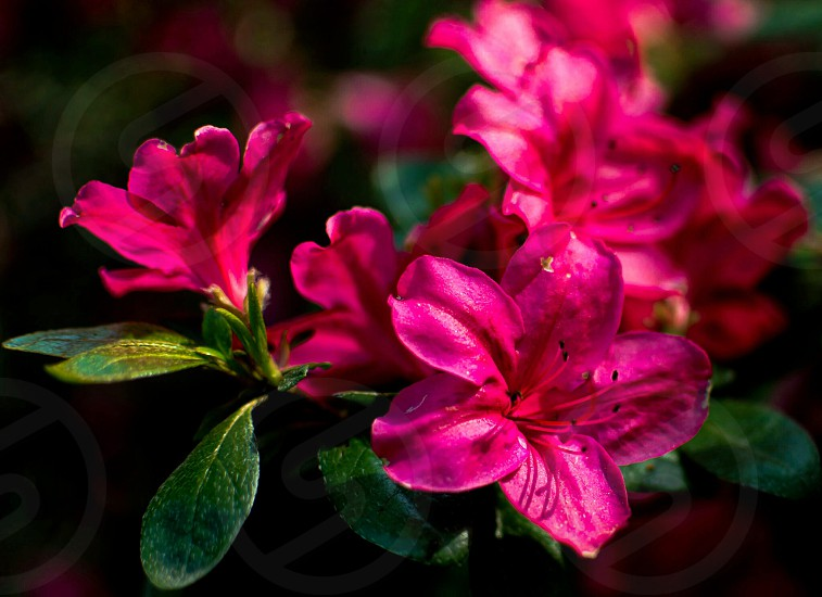 azaleas azaleapinkredfloraflowerflowersgardennature photo