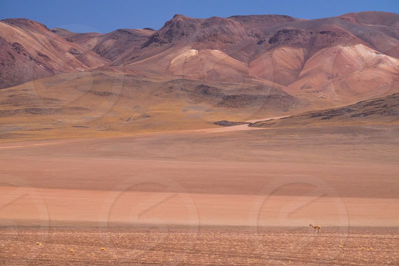 A Guanaco is tiny against the immensity of the desert and mountains of the Bolivian altiplano. photo