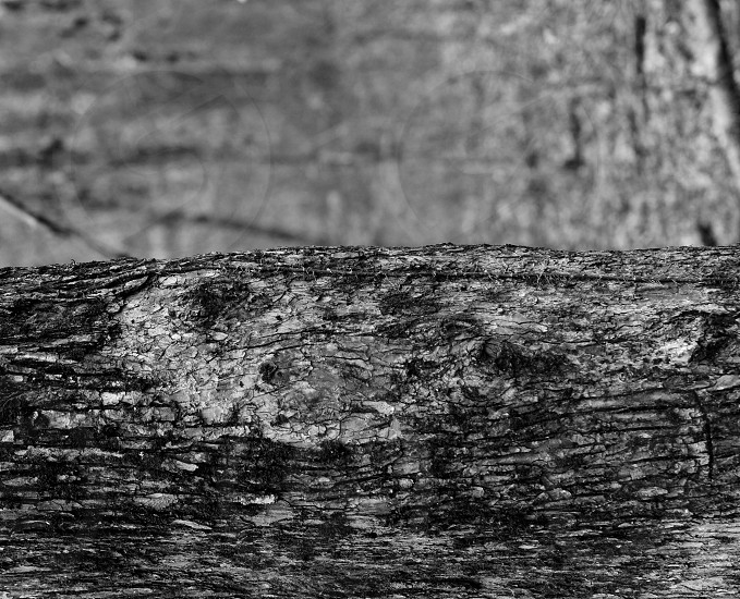 Likeness of a Native American Chief in the bark of an Oak tree. This photo will only load as a landscape but is actually meant to be viewed as portrait. photo
