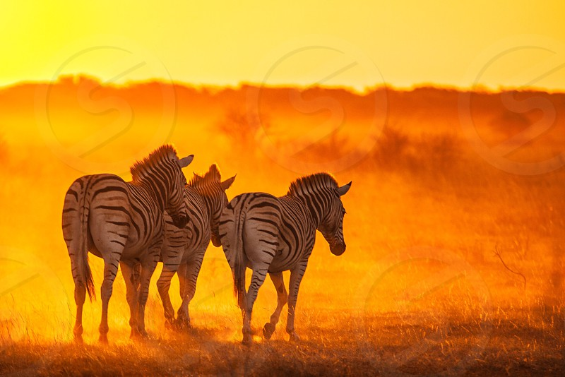 3 zebras walking on brown field photo