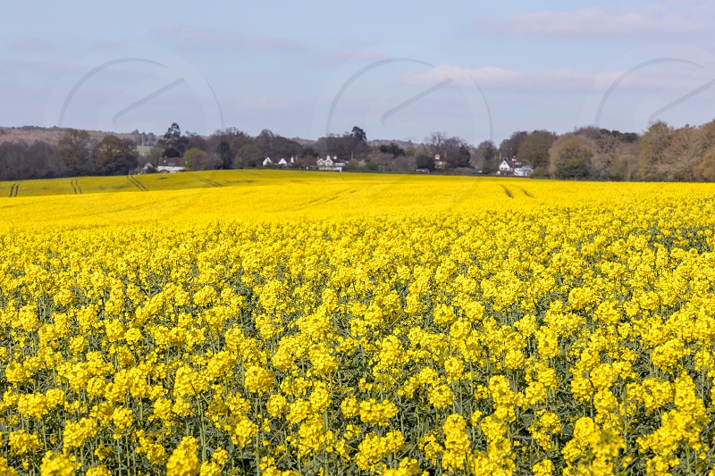 Rapeseed (Brassica napus) flowering in the East Sussex countryside near Birch Grove photo