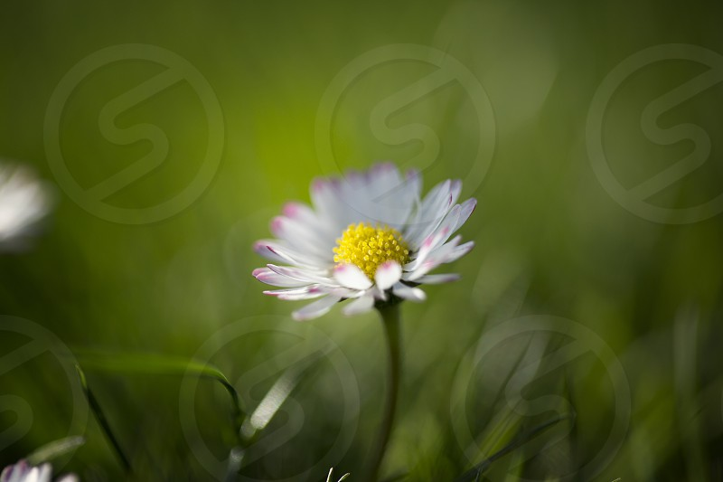 bloom blooming botany bright chamomile close closeup color daisy decoration detail environment flora flower garden green herb idyllic macro meadow nature nobody ornament ornamental outdoor plant season spring stem summer sunny up vertical vibrant white photo
