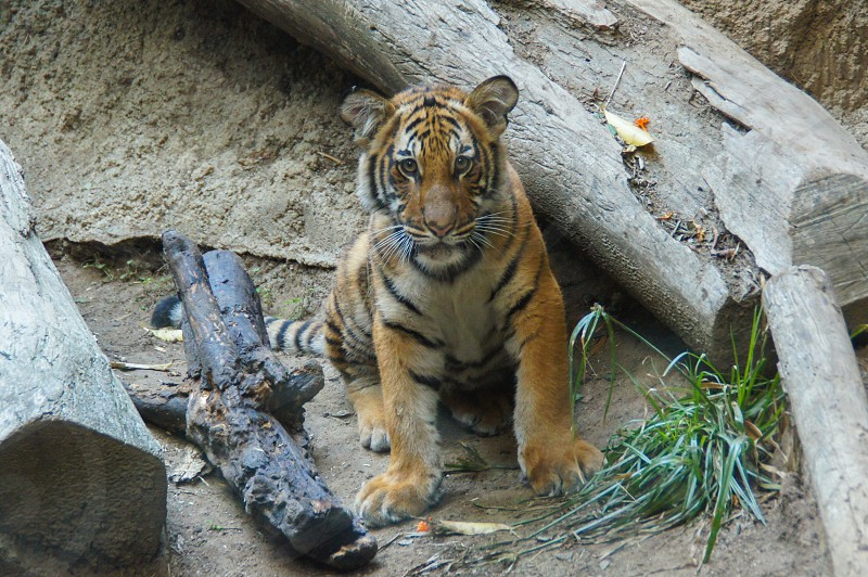 Tiger animal zoo San Diego  photo