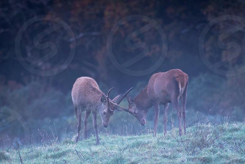 2 deer fighting on green field photo