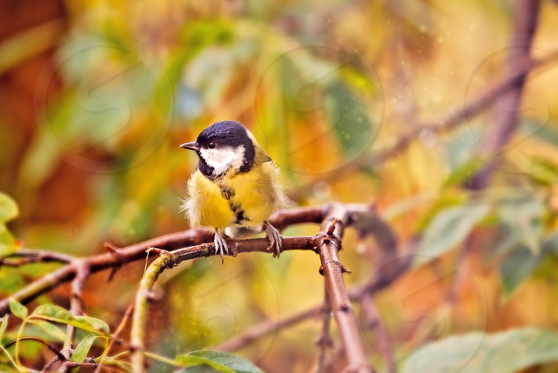 great titmouse in autumn time on a branch photo