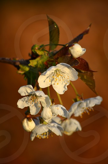 Tree blossom in late evening golden sun. Brown (beech hedge) background. photo