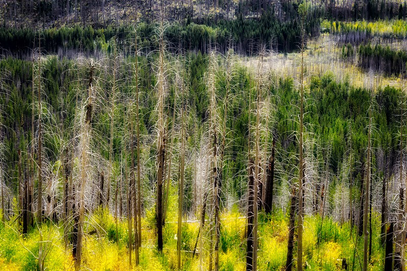 Fire Damaged Trees in Glacier National Park photo