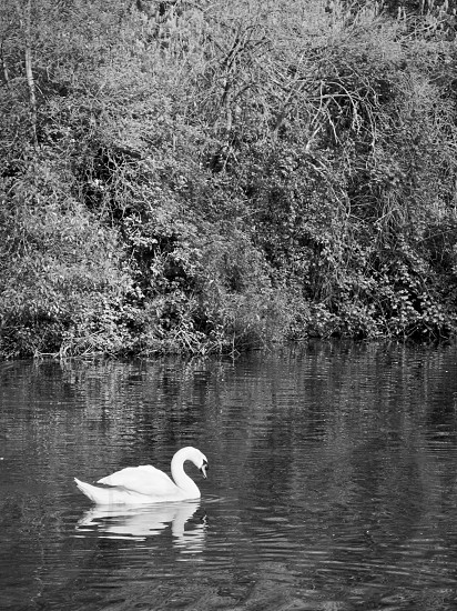 white swan black and white photography photo