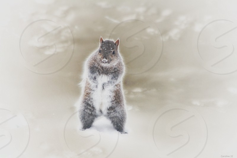 Will Work For Peanuts - gray squirrel showing off for peanuts photo