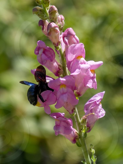 Carpenter Bee (Xylocopa) photo