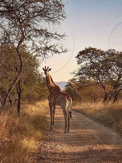 Giraffe in Africa grasslands photo