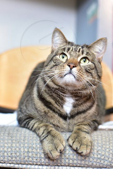Green eyed adoptable Tabby Cat Digit photo