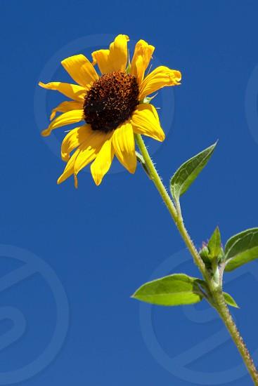 California Sunflower photo